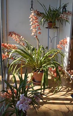 huguette-orchidée