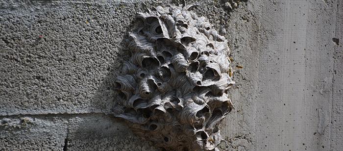 nid-de guêpes aout2014