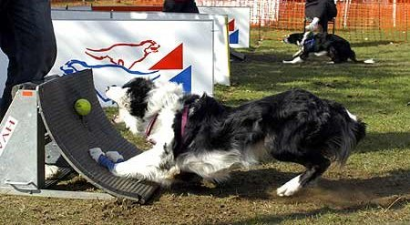 canin flyball