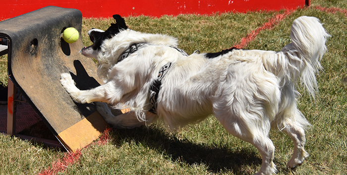 canin flyball trèbes2